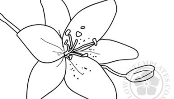 Calla Lily Coloring Page Flowers Templates