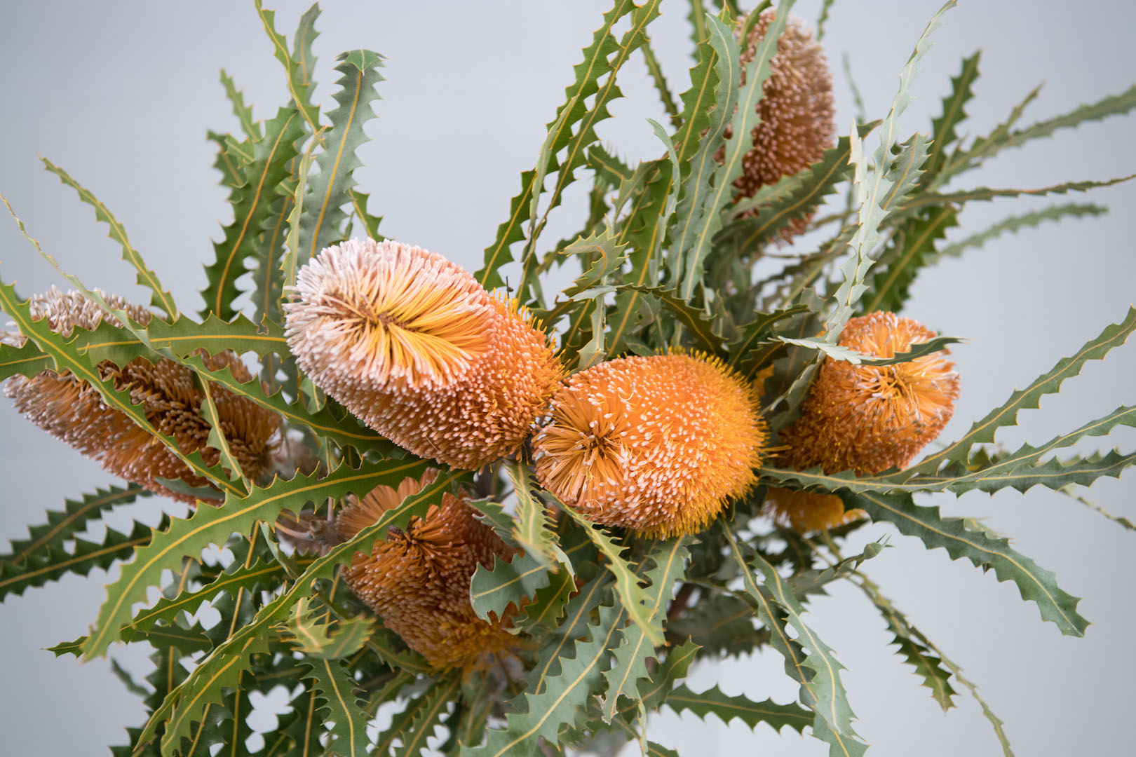 Flowers WA - Flowers in Perth - Native - Banksia Permossa