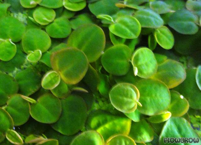 Surface Aquarium Plants