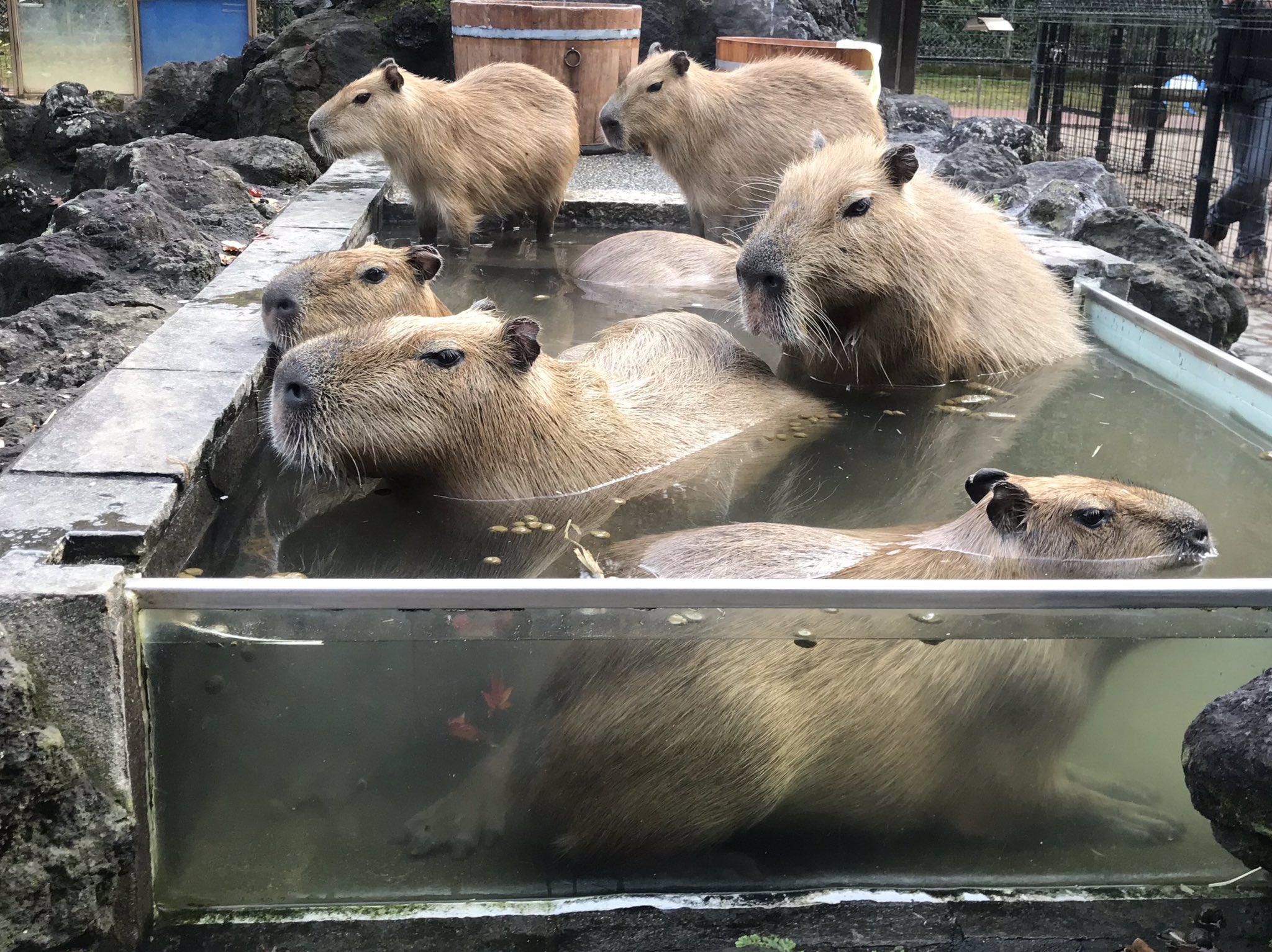 水豚也迎來溫泉祭 網抓包旁邊那隻「硬塞木桶」大笑:會擠到變形啦! - Fluffy 寵毛孩