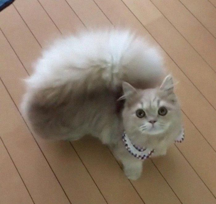為什麼要COS松鼠~ 萌貓自帶「吊飾型尾巴」甩起來好有氣質 - COCOHK