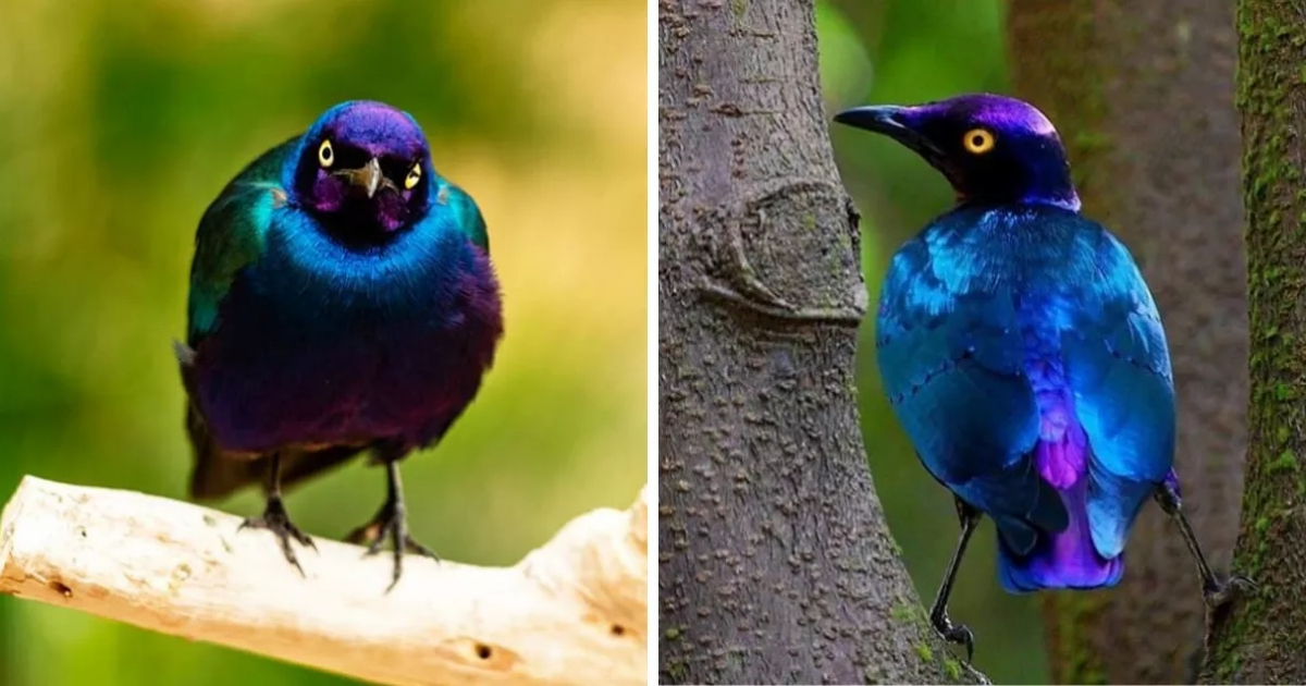 會飛的紫水晶! 超神奇「金屬色小鳥」真的沒修圖 太陽底下漸變光澤看到入迷~ - Fluffy 寵毛孩