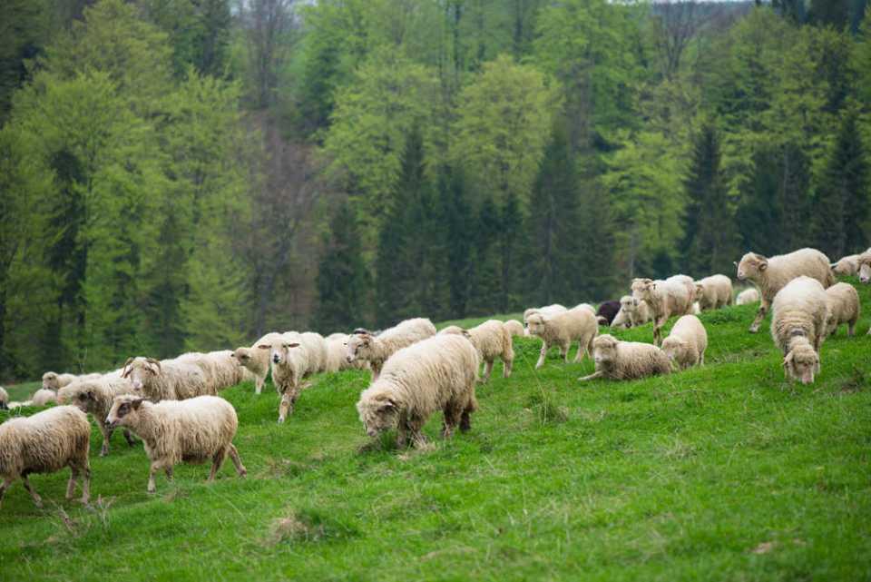 Owce w górach