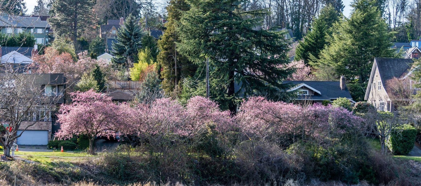 cherry blossoms near Lake Washington