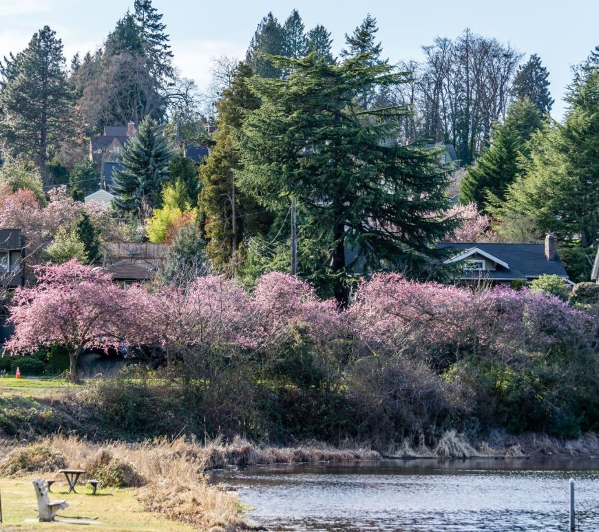 cherry blossoms near Lake Washington