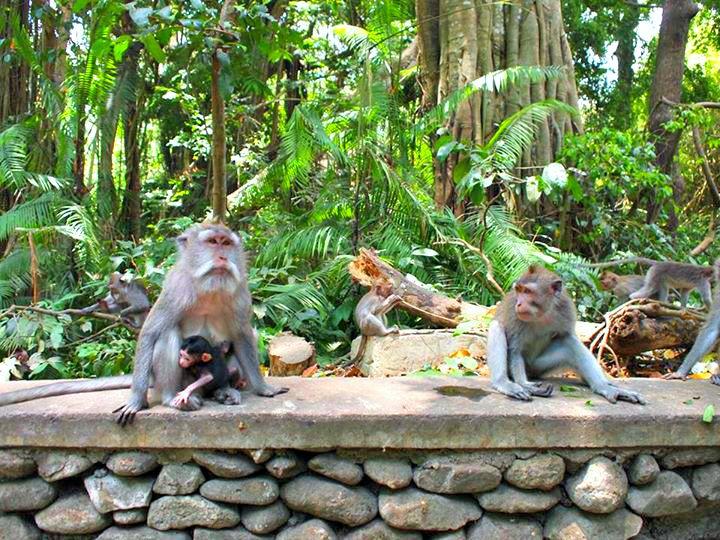 Apen in Monkey Forrest in Ubud op Bali