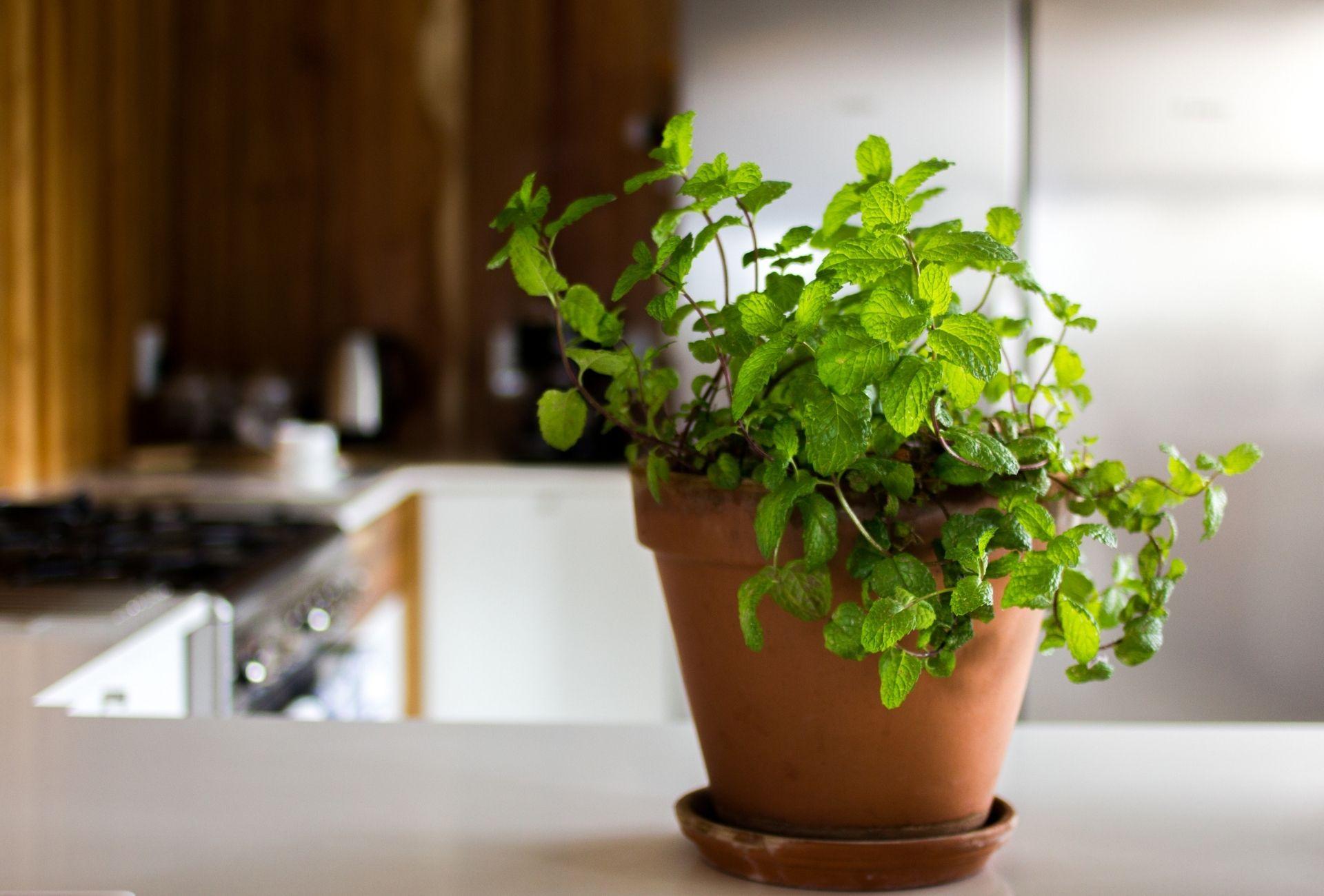 kruiden als plant