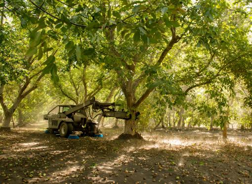 Demand for California Walnuts continues  to grow as the 2019 harvest gets underway