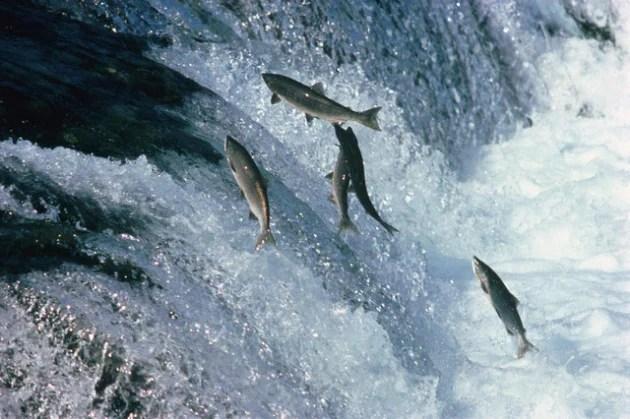 Come fanno i salmoni a tornare a casa  Focusit