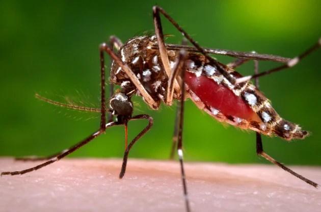 Risultati immagini per zanzara aedes aegypti