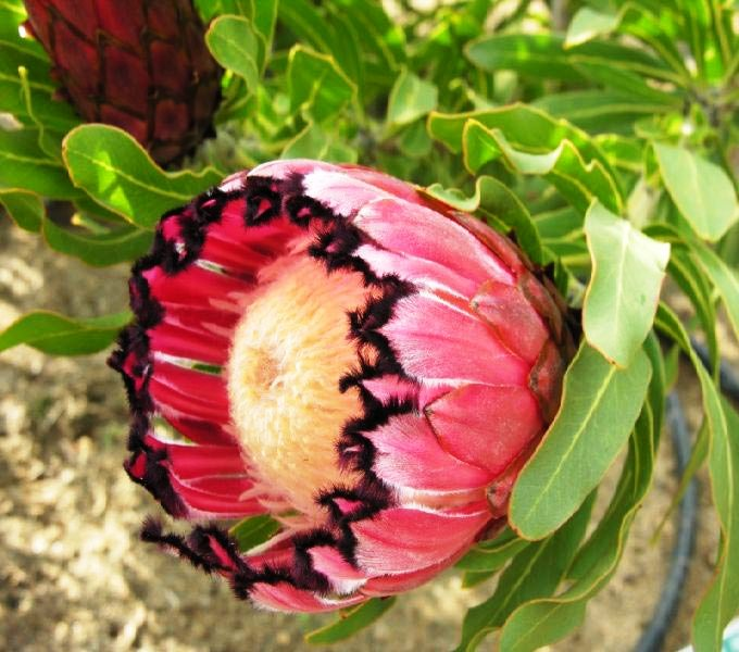 Protea flowers by Focused Imagery