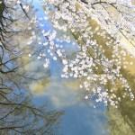 水面に映る桜