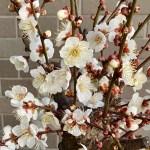 満開の梅の花|鉢植え