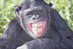 gorilla che ride