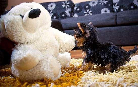 Il cane più piccolo del mondo - Focus Junior