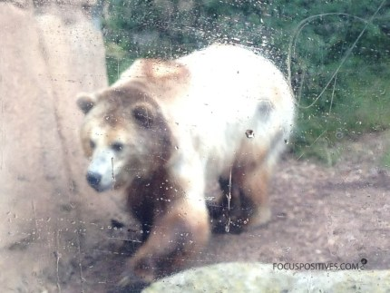 looking at a brown, tan and white colored bear through a wet glass
