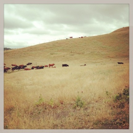 Cows on a dried grass hill