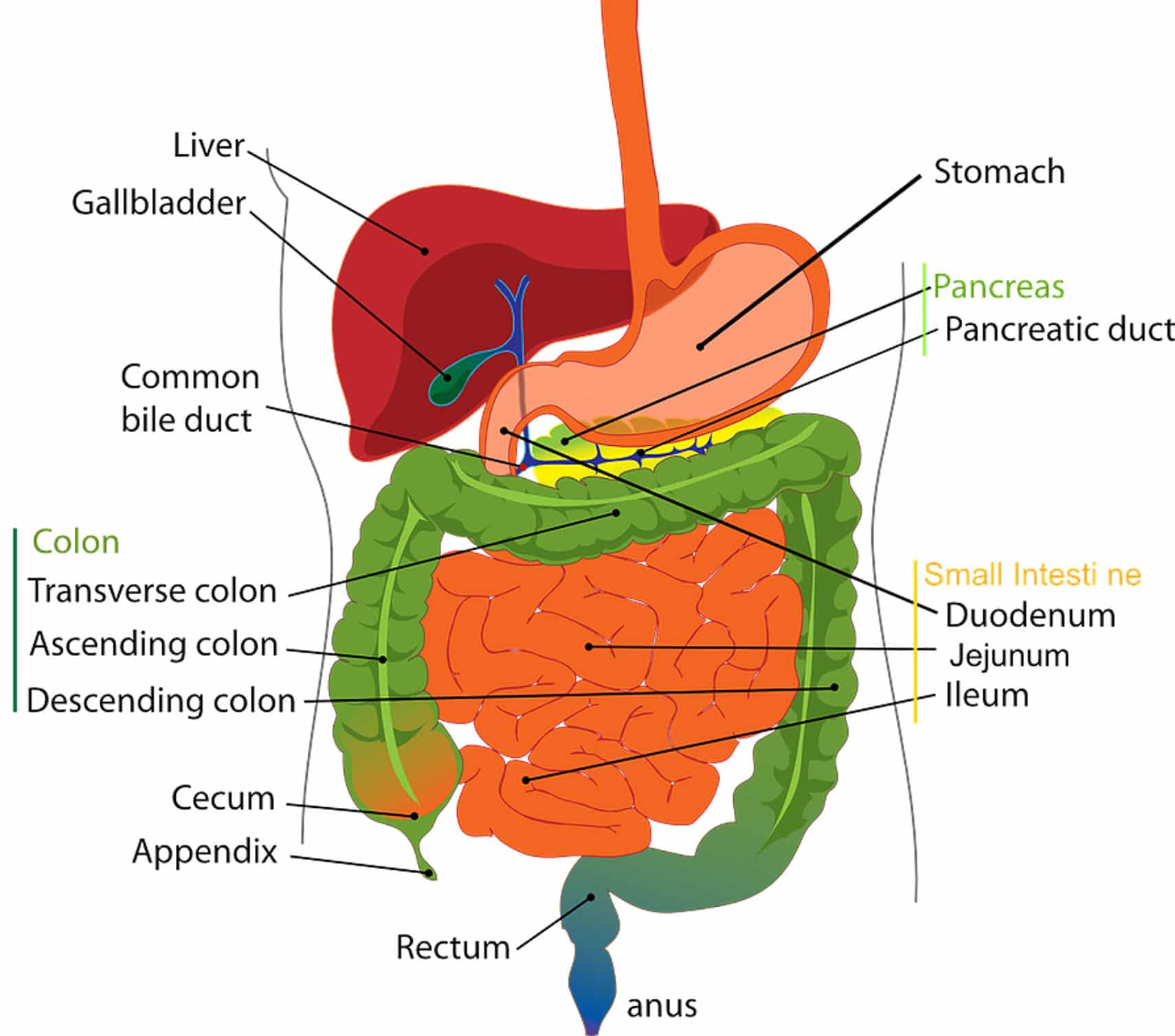 human liver diagram cat 5 wiring pdf vital organs digestive series the fodmap everyday