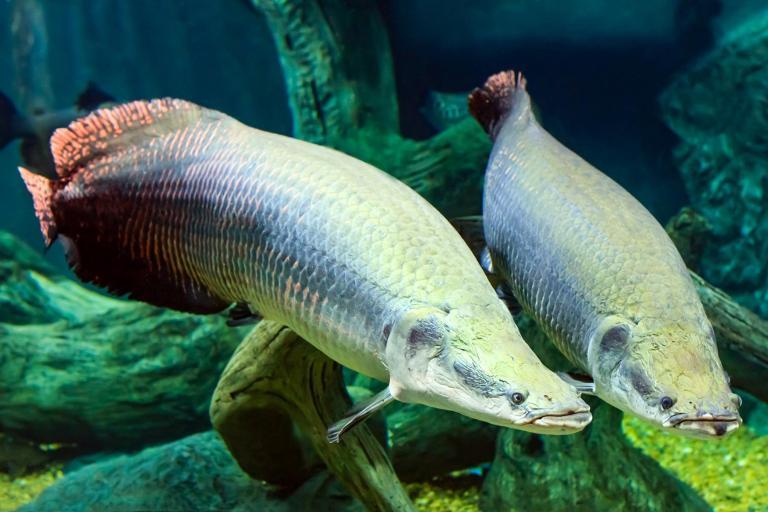 Guyana Leaf Fish