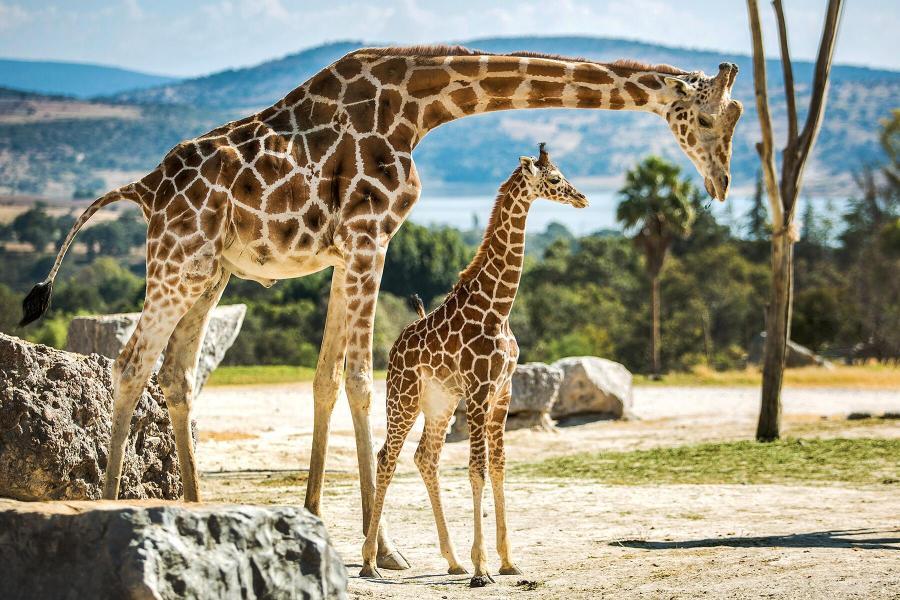 05_CutestBabyAnimals__Giraffes_shutterstock_780284308