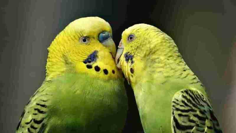 Rainbow Muhabbet Kuşları