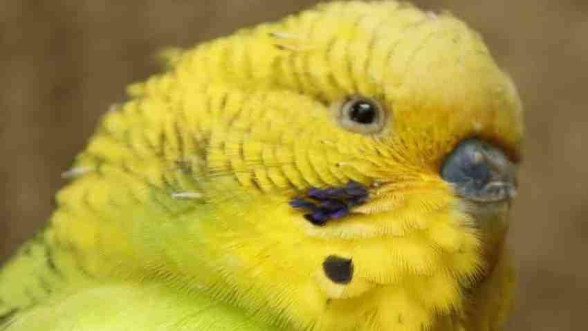 Sarı Muhabbet Kuşu