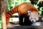 März 2019: der kleine Panda