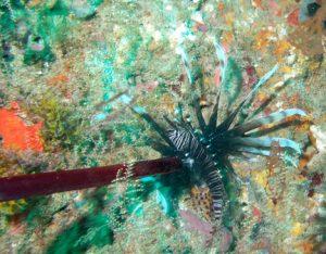 Lionfish taken with Foldspear