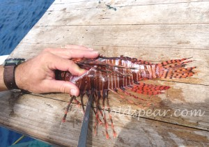 Filleting the lionfish along the dorsal fin