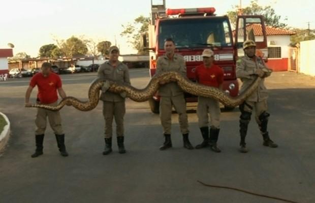 Sucuri capturada pelos bombeiros tinha cerca de seis metros de comprimento, em Luziânia, Goiás (Foto: Reprodução/TV Anhanguera)
