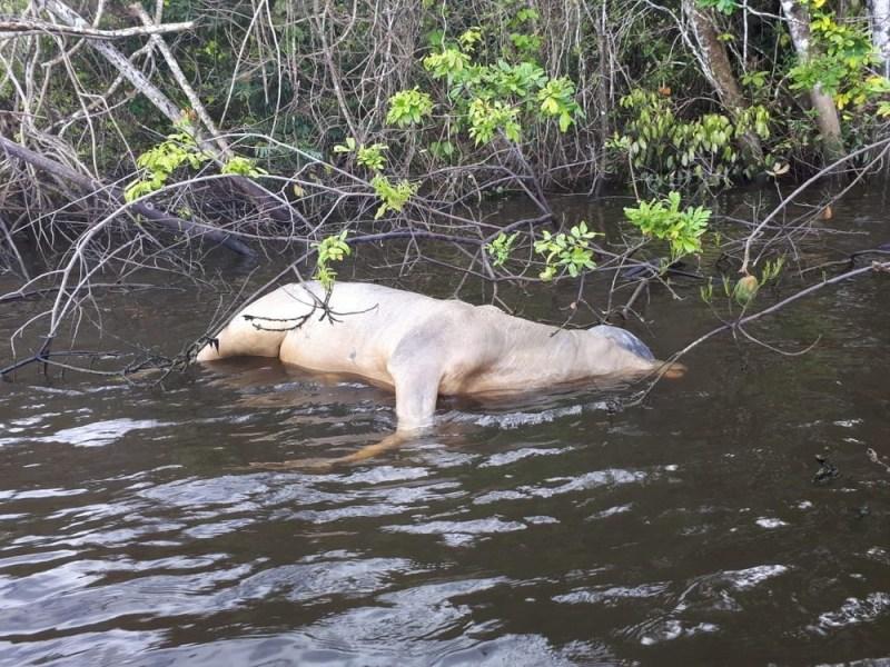 Boi encontrado em rio de Altamira, no sudoeste do Pará (Foto: Divulgação/Marinha do Brasil)