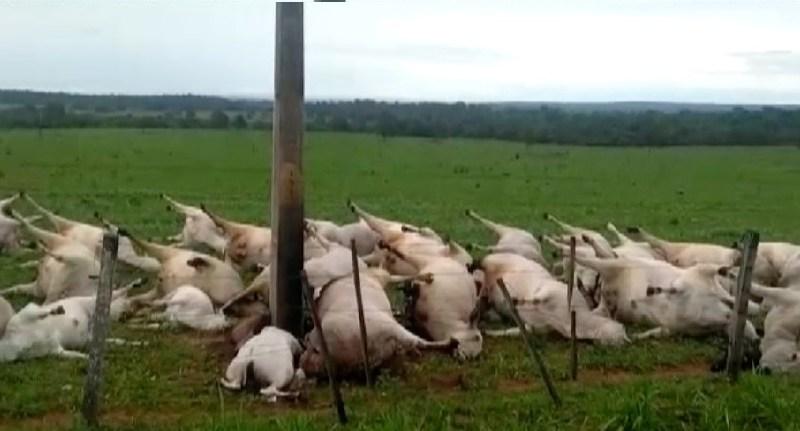 gado-morto