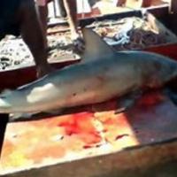 Pescador é mordido por tubarão durante pesca ilegal em praia do Pará