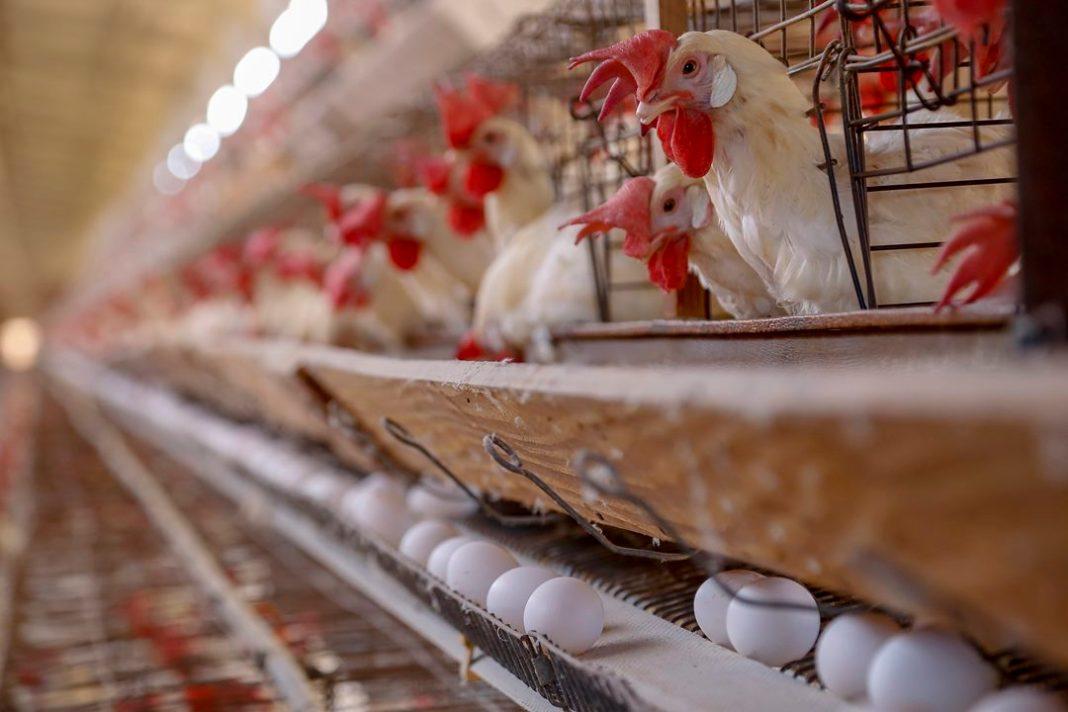 Produção de ovos- Granja feliz - 04-2021Arapongas-PrGilson Abreu/AEN