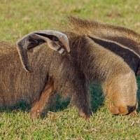 Extinção no Cerrado: conheça os animais que estão ou já estiveram sob esse risco