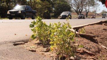 Tigueras, guaxas ou voluntárias, são os nomes para as plantas que nascem sem controle e disseminam pragas e doenças (Foto: Divulgação)