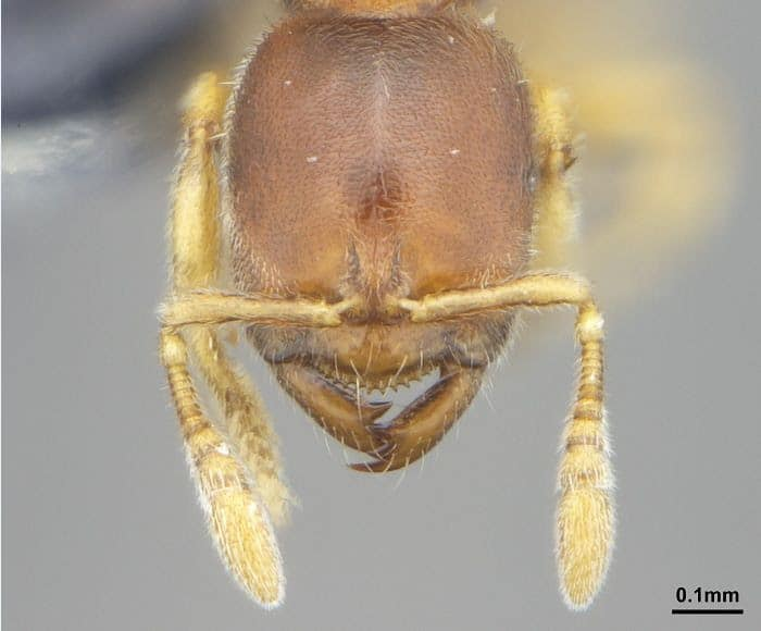 Prionopelta dubia