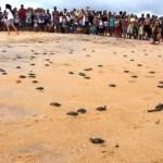 Soltura de tartarugas filhotes nesta sexta-feira (15) em Anchieta