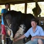 Concurso de gado leiteiro e produção de banana dará prêmio de R$ 3 mil