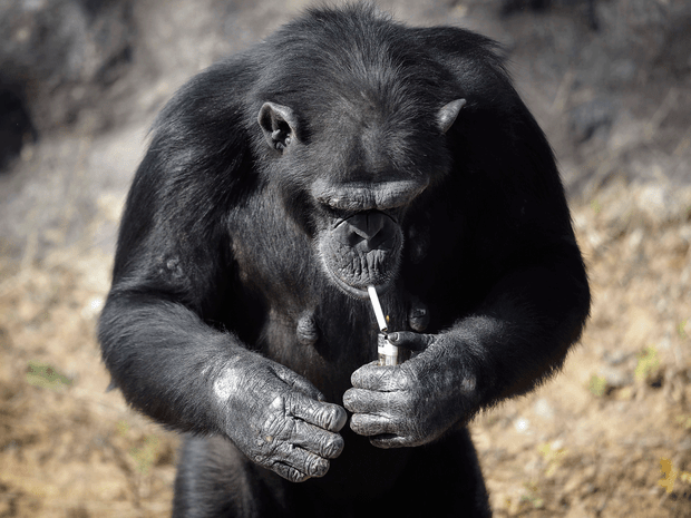 Fotos chocantes mostram chimpanzé fumando em zoo na Coreia do Norte