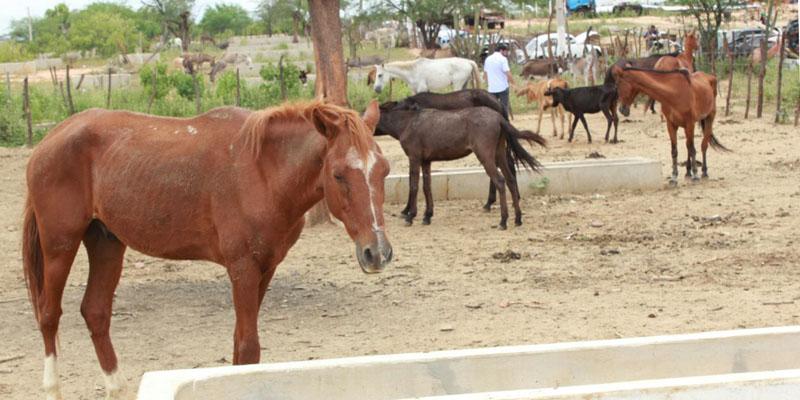 Prefeitura de Patos continua com apreensão de animais de médio e grande porte