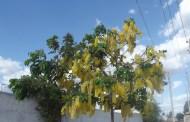 Chuvas-de-ouro em floração em Patos