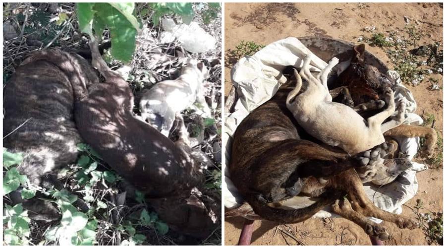 Oito cães amanhecem mortos por envenenamento em Teixeira