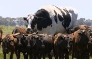 Boi gigante escapa de abate na Austrália por ser 'grande demais'