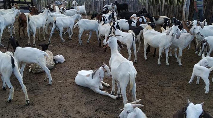 Paraíba é o maior produtor de leite de cabra do país, segundo IBGE