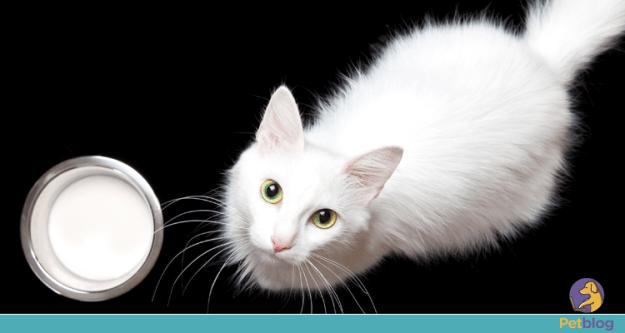 Gatos podem beber leite ou são intolerantes à lactose?