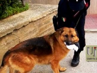 Tre chili e mezzo di hashish in casa, arrestato a Trevi grazie a Batman