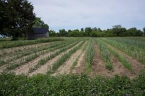 growing-fields