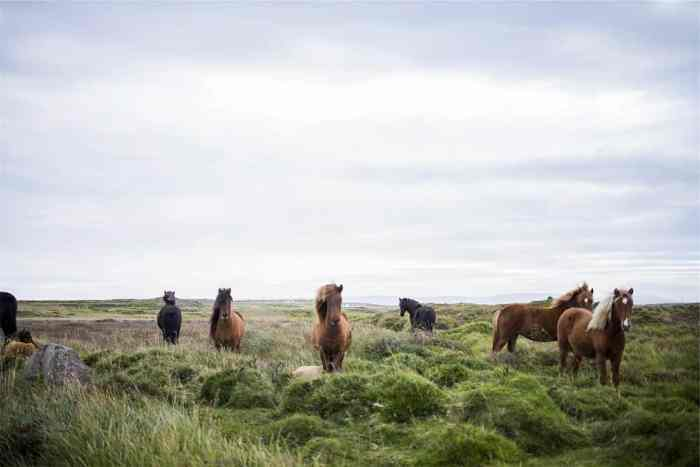Horses in iceland you may see | icelandic horses