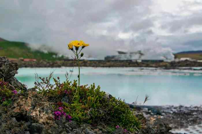 Spring flowers at the blue lagoon in Iceland